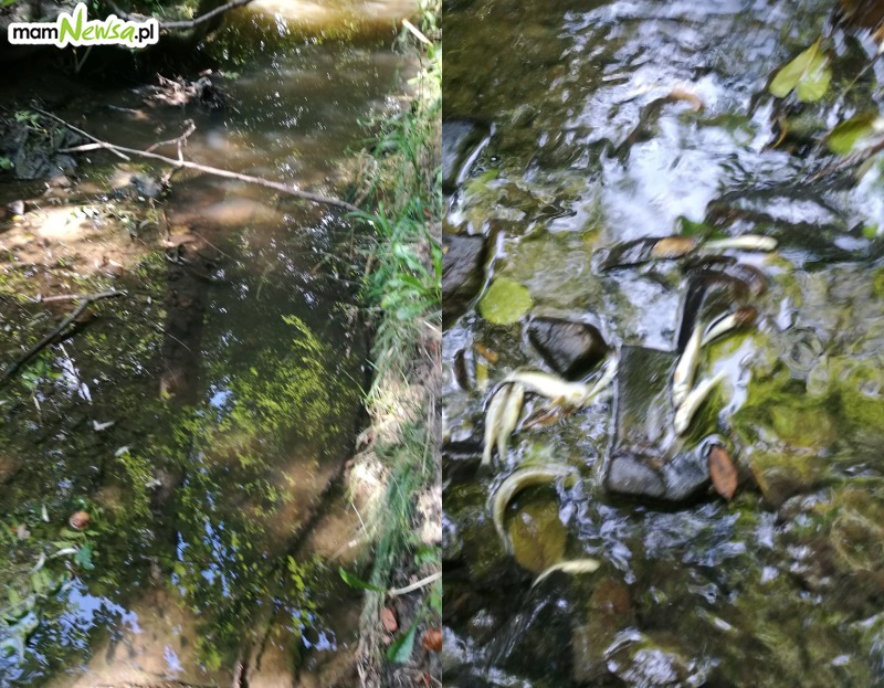 W rzece padają ryby. Czy to od upału?