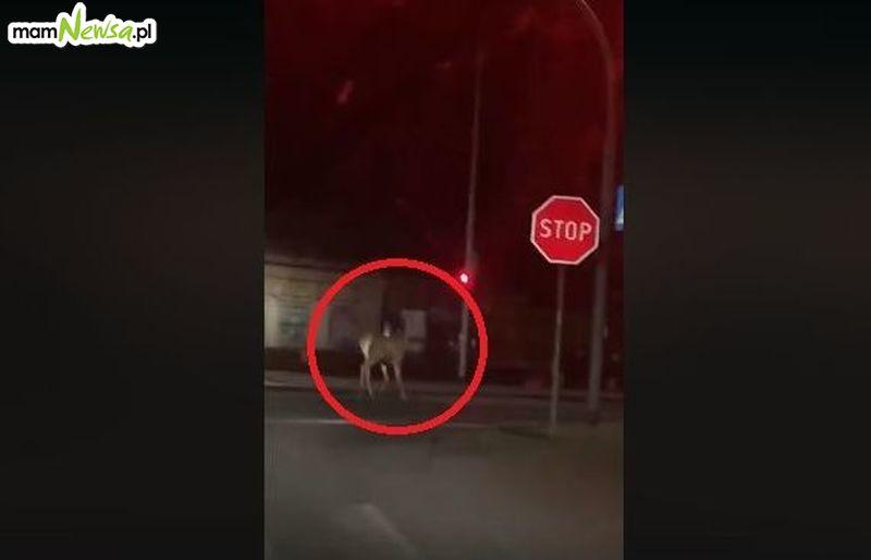 Dzikie zwierzęta coraz częściej odwiedzają osiedla, a nawet centrum Andrychowa [VIDEO]