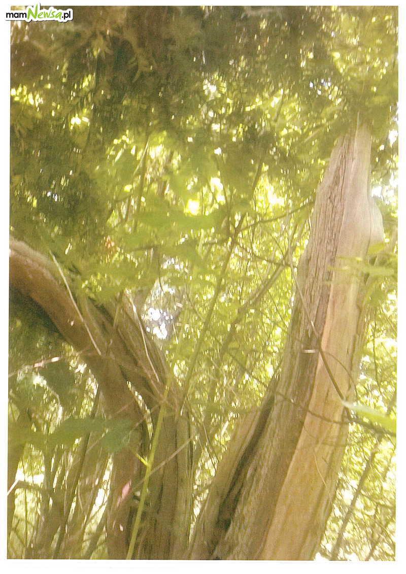 Stare drzewo do usunięcia. Nie będzie już pomnikiem przyrody