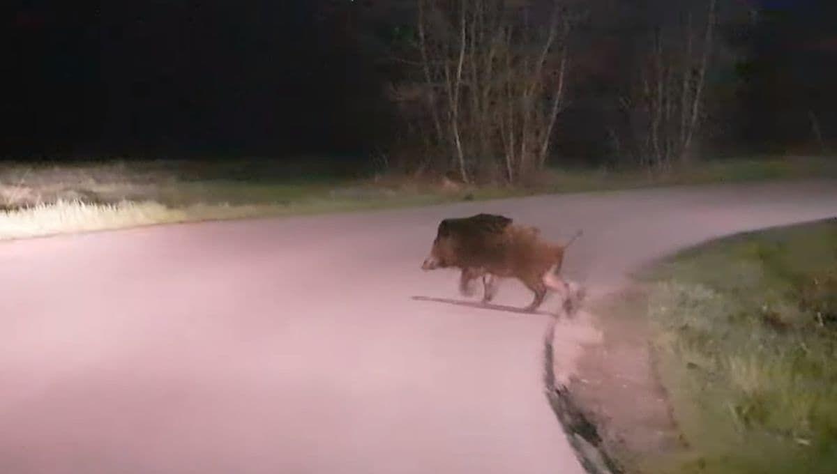 Uwaga na dziki na drogach