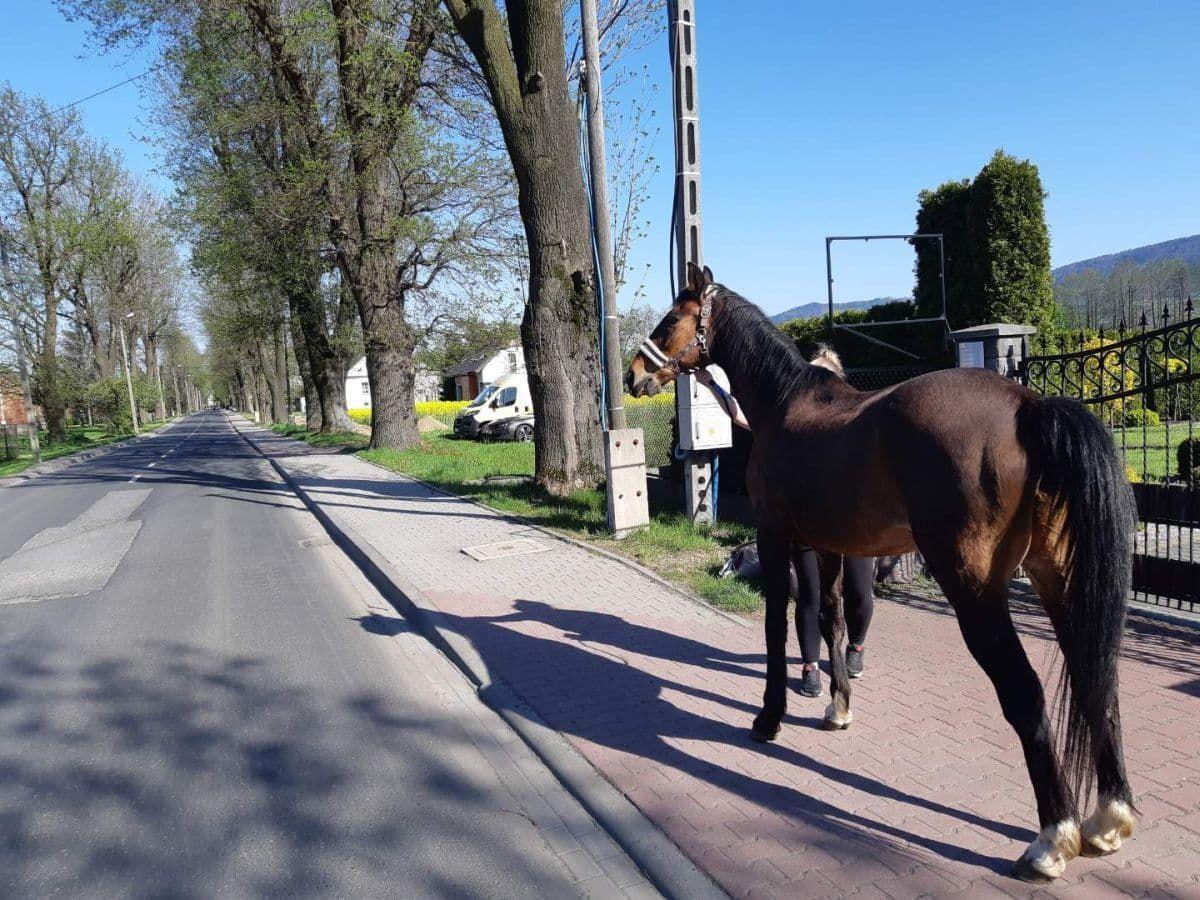 Policyjna akcja z koniem. Uciekł z zagrody
