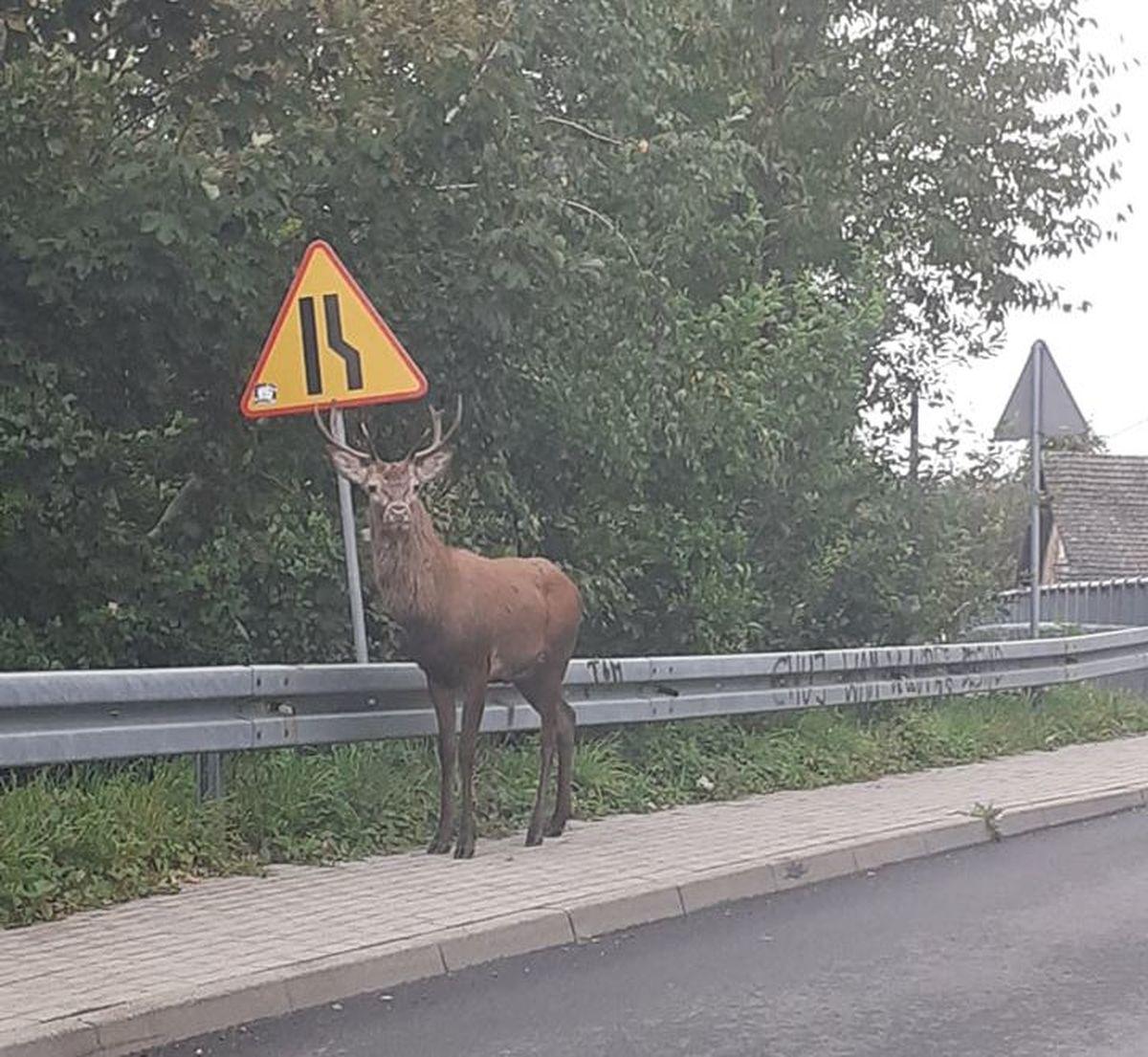 Ogromny jeleń przy drodze na granicy Sułkowic z Targanicami