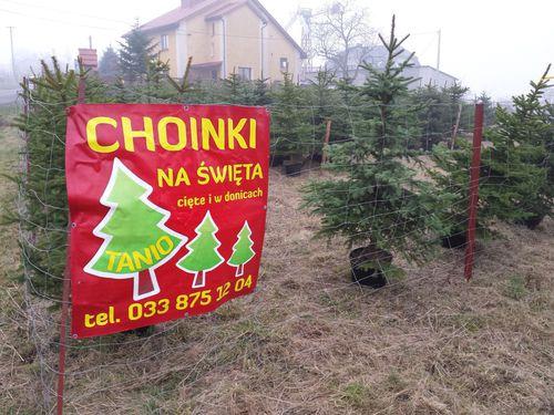 Duży wybór choinek świątecznych. Zobaczcie gdzie