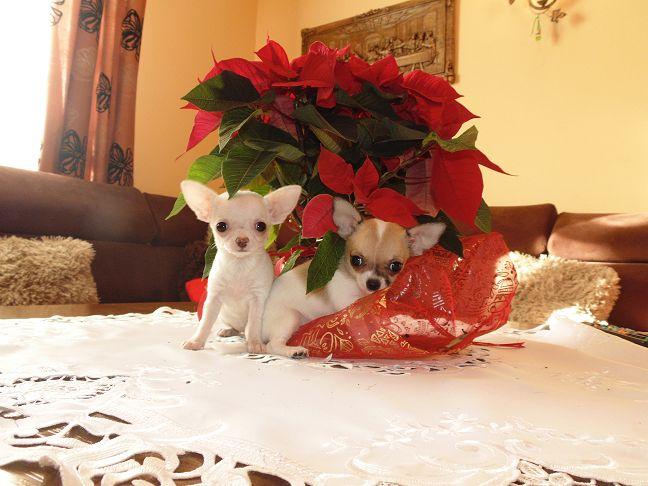 Hodowla psów Chihuahua