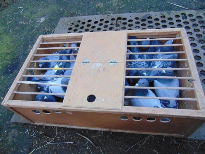 Złodziej ukradł gołębie warte 10 tysięcy złotych