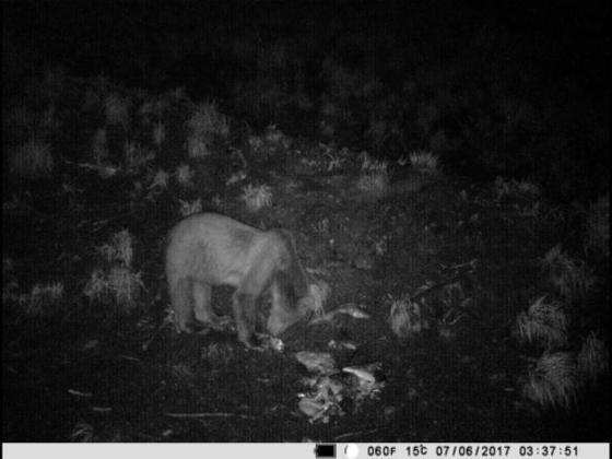 Uwaga na niedźwiedzie - ostrzega Nadleśnictwo Andrychów