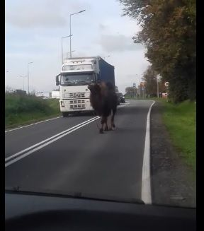 Uwaga! Wielbłąd na drodze [VIDEO] AKTUALIZACJA