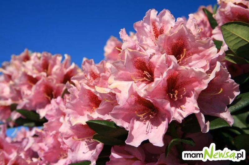 Zaproszenie na majowe Święto Kwitnących Azalii. 12-27 maja