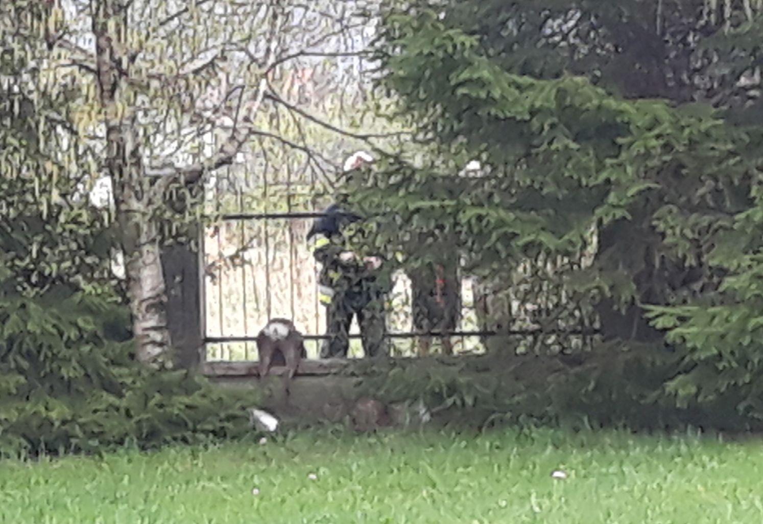 Sarenka uwięziona w ogrodzeniu. Nie miała szans bez pomocy człowieka