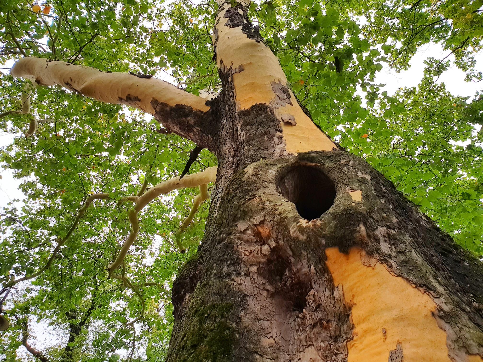 Jedno z najstarszych drzew w Andrychowie coraz bardziej pęka. Czy to jest niebezpieczne?