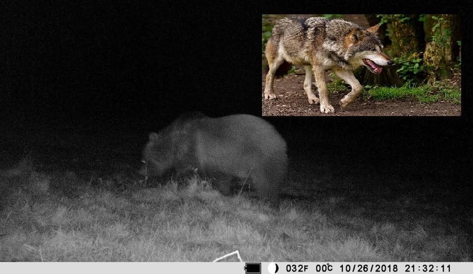 Nie tylko miś. W okolicy pojawiły się wilki