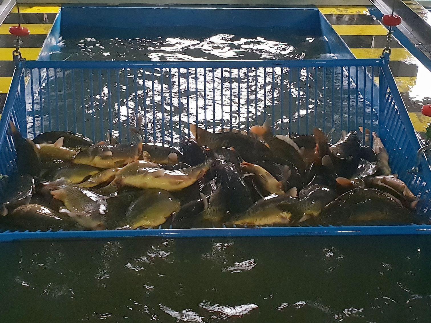 Karp zatorski już gotowy na święta [VIDEO]