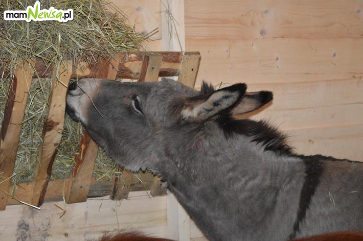 Świąteczna szopka ze zwierzętami już otwarta