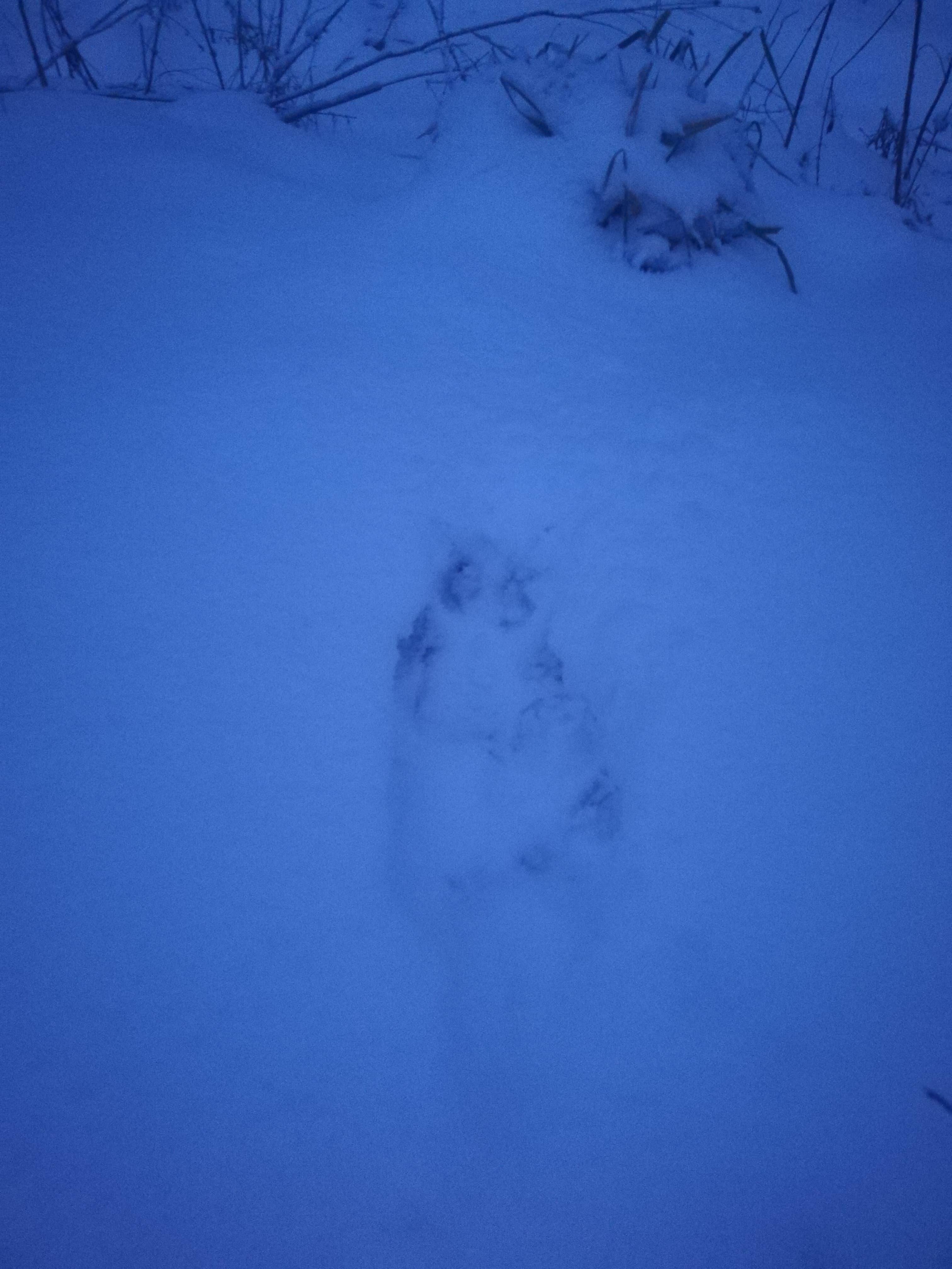 Na tropie wilka. Drapieżnika widziano w Boże Narodzenie