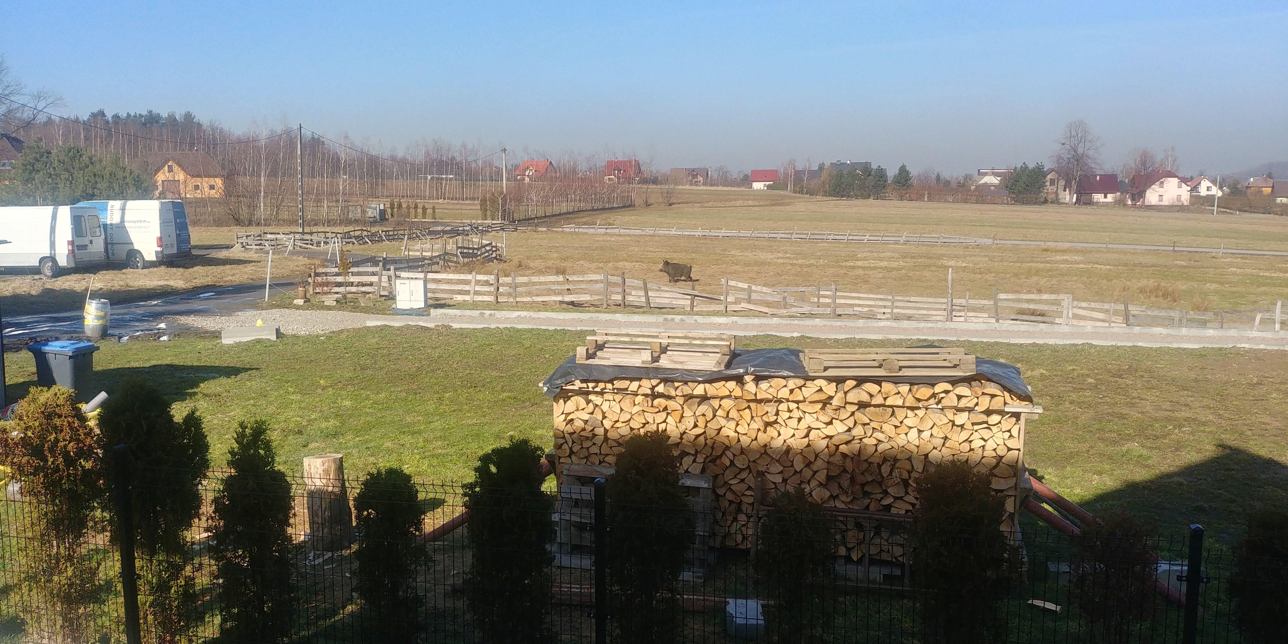 Dzik spacerował po Sułkowicach