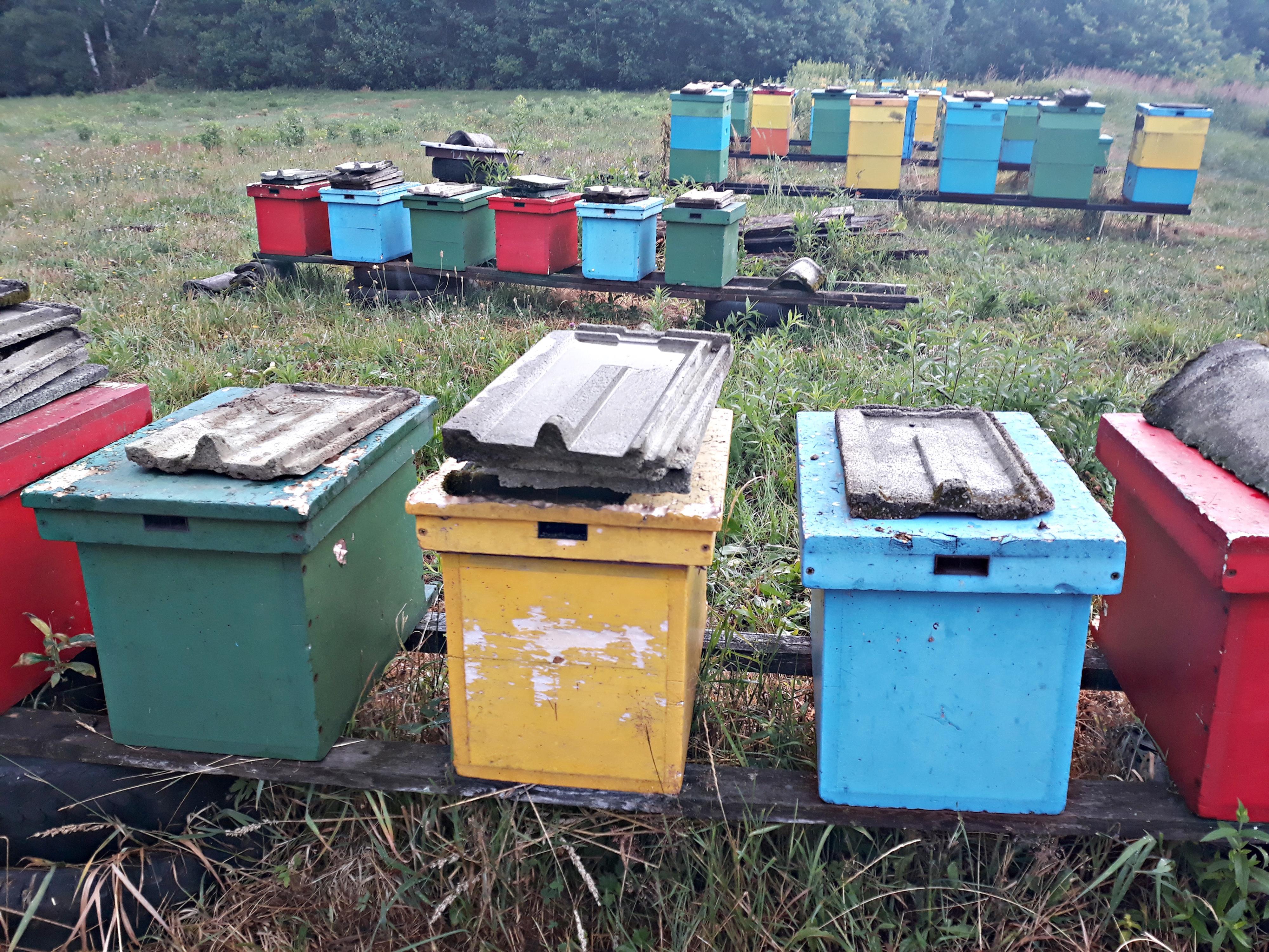 Okrutna śmierć milionów pszczół. Tragedia w Wysokiej [VIDEO]