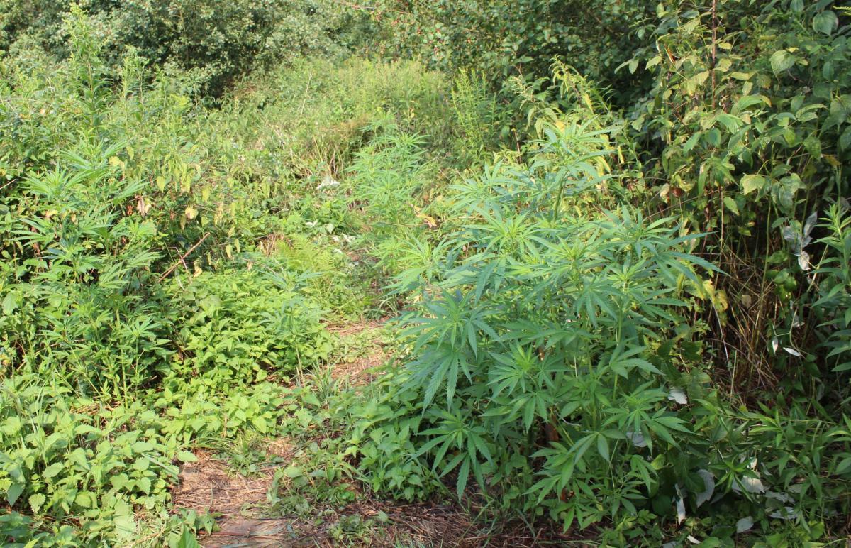 Nielegalna plantacja w lesie. Można było z tego wyprodukować 3,5 kg marihuany