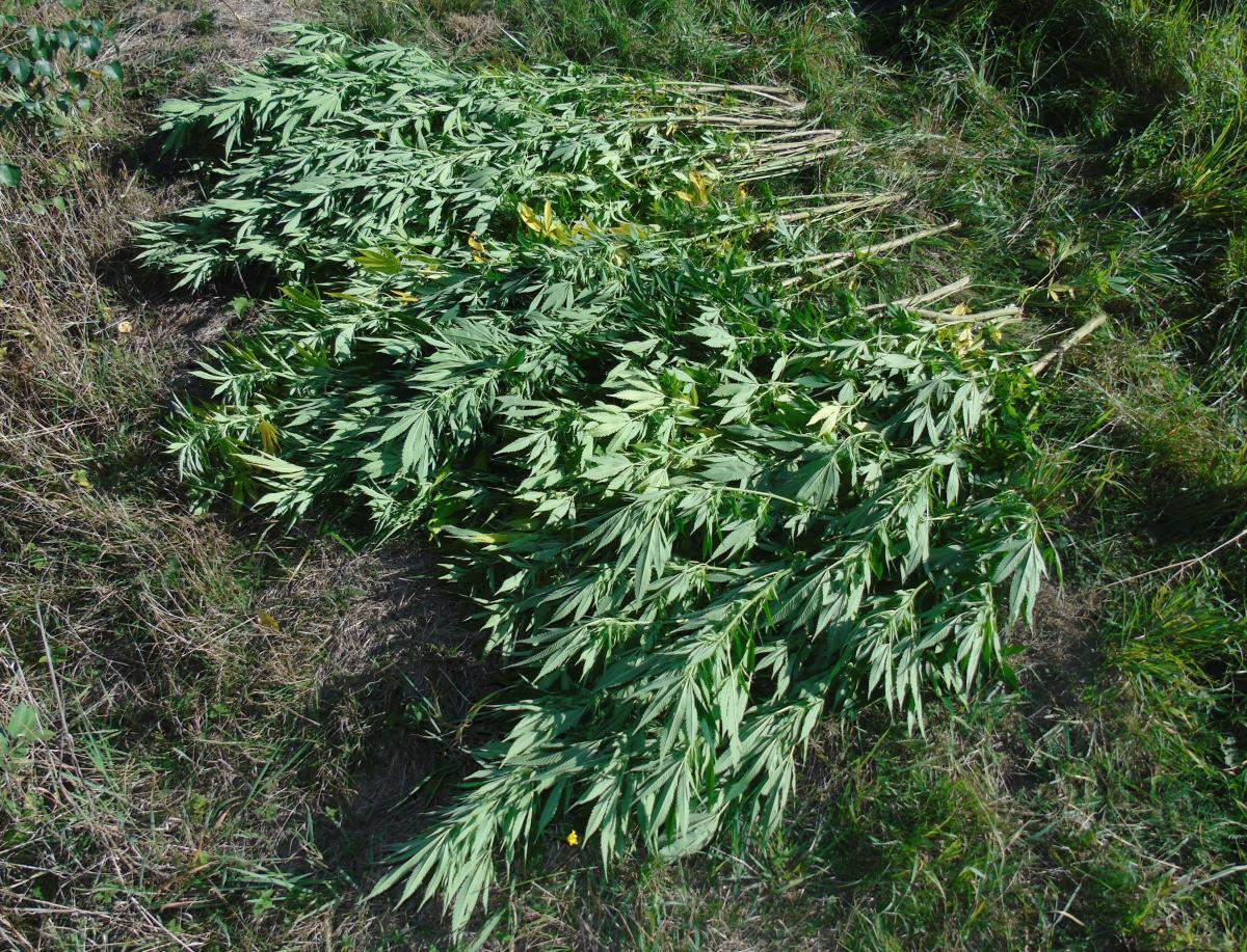 Zbierał grzyby, znalazł w lesie... plantację marihuany