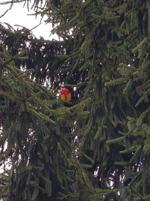 Papuga uciekinierka poszukiwana