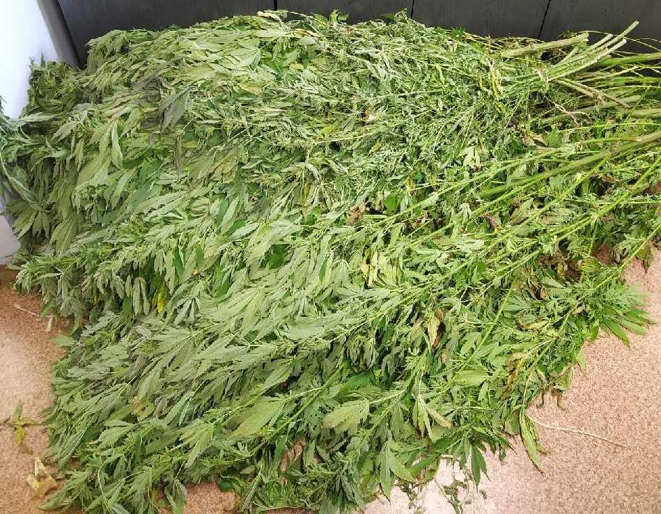 Na spacerze w lesie znalazł... uprawę marihuany