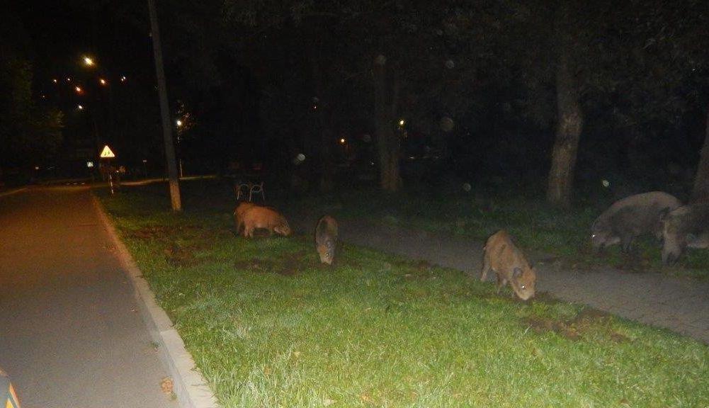 Uwaga na dziki na drogach! Niemal doszło do kolejnego wypadku