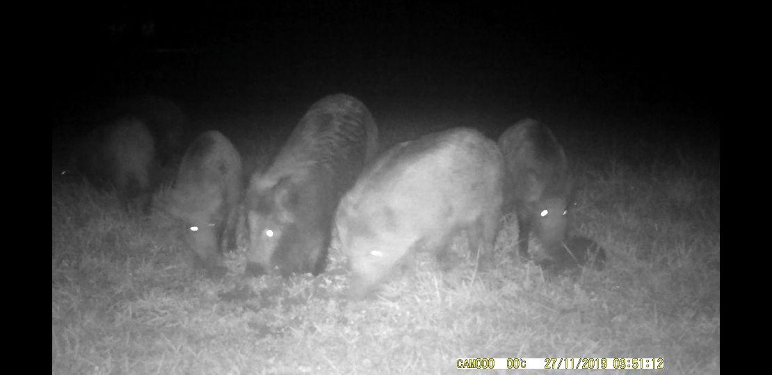 Dziki złapane na fotopułapce przy granicy Roczyn z Bulowicami [VIDEO]