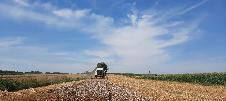 Kombajny na polach, czyli żniwa w pełni. Sprawdzamy co u naszych rolników [VIDEO]