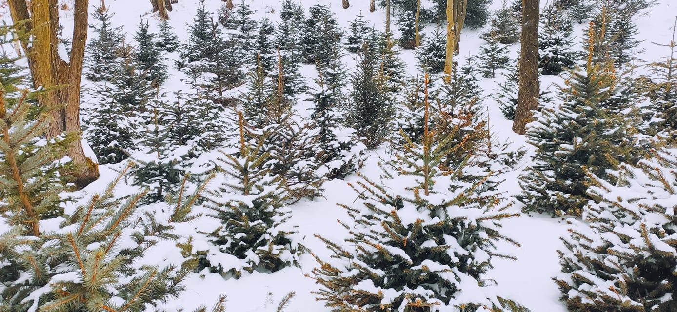 Ze świątecznych choinek mieszkańców rośnie las [FOTO]